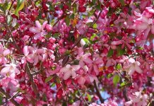 Aromatherapy Oils from the Rosaceae Plant Family