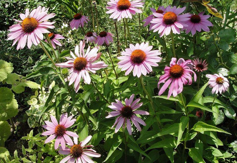 Echinacea Purpurea The Amazing Natural Remedy