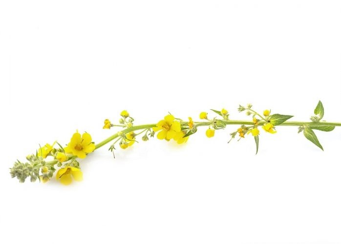 Why Mullein is a Good Weed