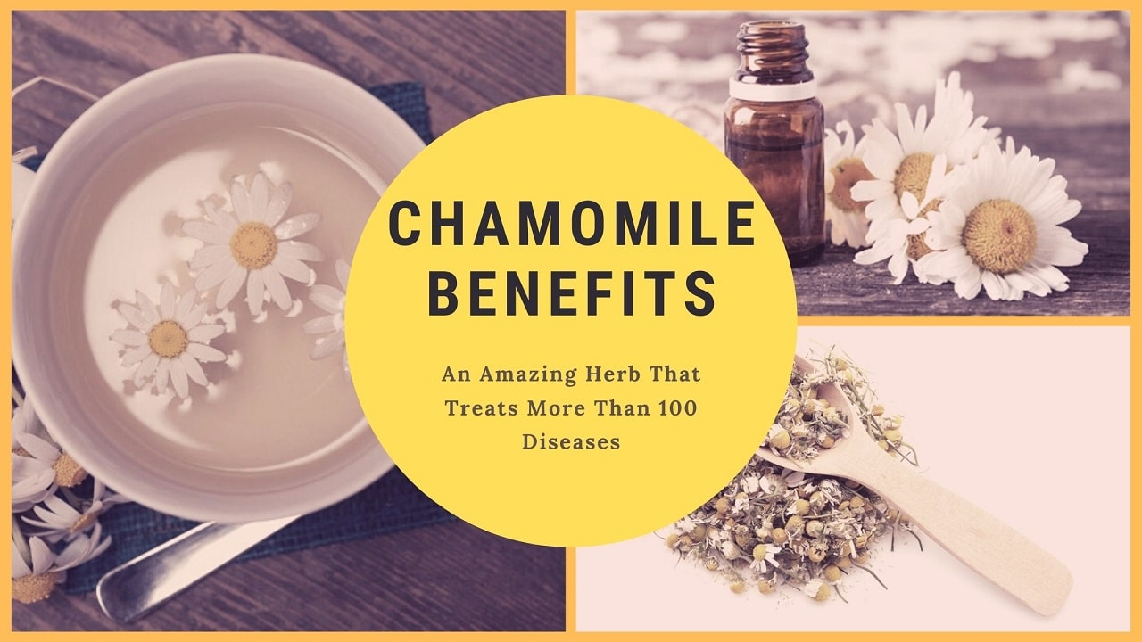 Chamomile Plant - An Amazing Herb That Treats More Than 100 Diseases