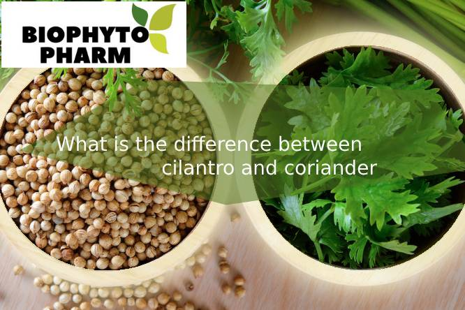 What is the difference between cilantro and coriander